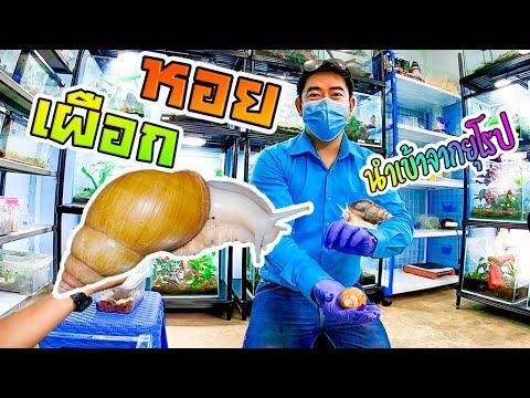 หอยทากเผือก-ศรีบุญชูฟาร์ม