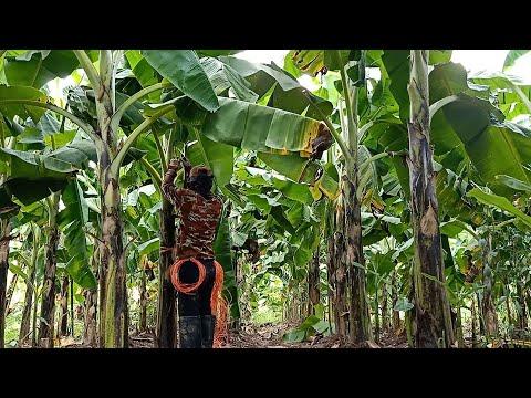 ตัดไม้ไผ่-เข้าสวนค้ำกล้วยหอม-ว