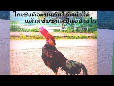 ไก่เชิง-|-ชนกับไก่พม่า-ม้าล่อต
