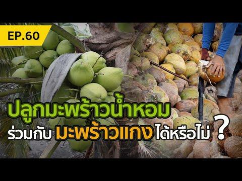 ปลูกมะพร้าวน้ำหอม-ร่วมกับมะพร้