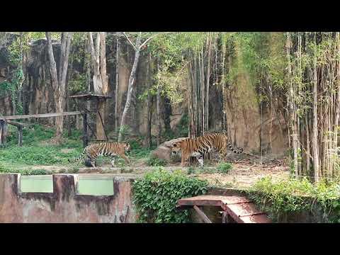 เสือโคร่งอินโดจีน-#สวนสัตว์ขอน