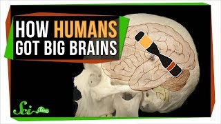 New Genetic Clues to the Mystery of Your Giant Brain