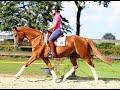 Dressage horse Top merrie voor sport / fokkerij
