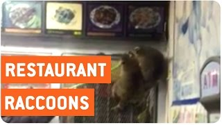 Raccoons Invade Restaurant | Hangry Coons
