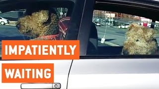 Impatient Dogs Waiting in Car | Honk for Freedom