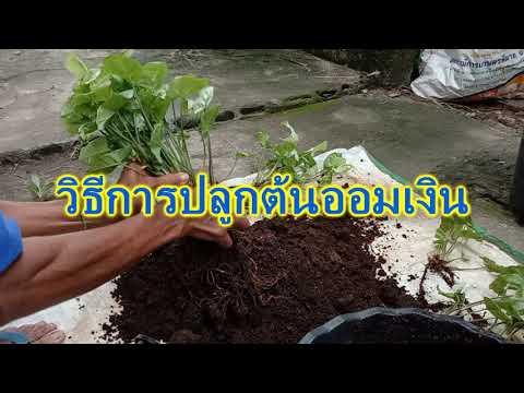 ต้นออมเงิน---Syngonium-podophy