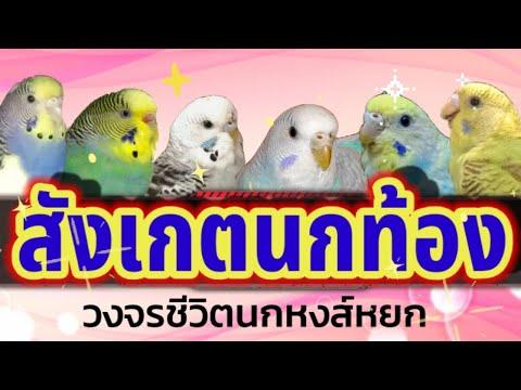 #สังเกตนกท้อง-#วงจรชีวิตนกหงส์