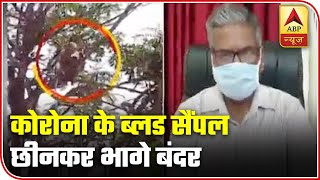 Monkeys run away with Covid blood samples in Meerut, video goes viral - ABPNEWSTV