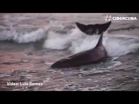 Jóvenes cubanos rescatan a dos delfines encallados en Cojímar