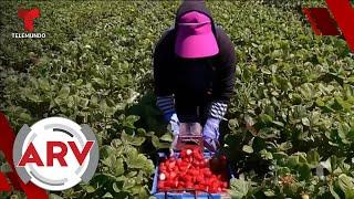 Trabajadores agrícolas extranjeros podrán aplicar para una visa temporal   Al Rojo Vivo   Telemundo