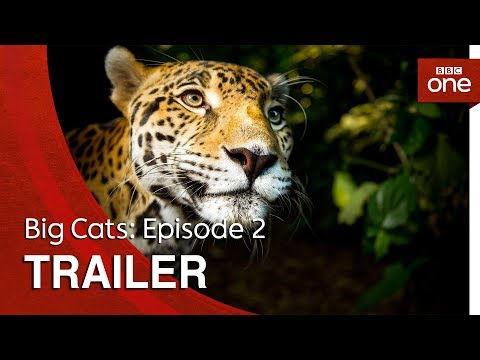 connectYoutube - Big Cats: Episode 2 | Trailer - BBC One
