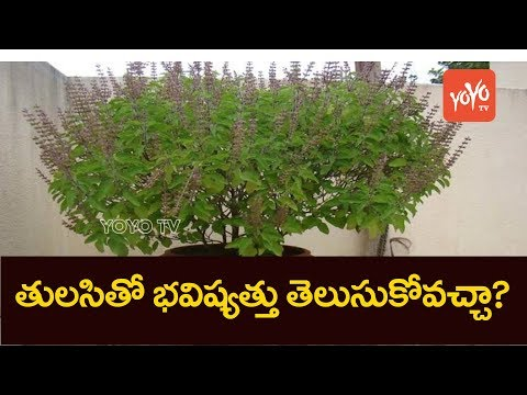 How a Tulsi Plant in Your Home Can Predict Your Future !