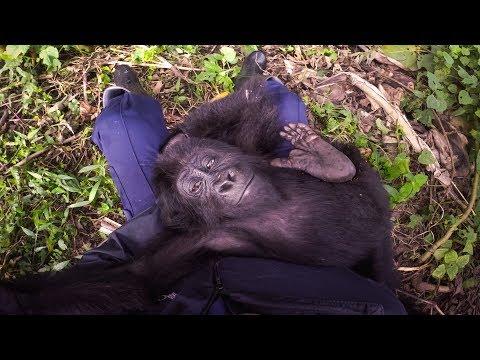 GoPro: Saving Lulingu the Baby Gorilla with GRACE