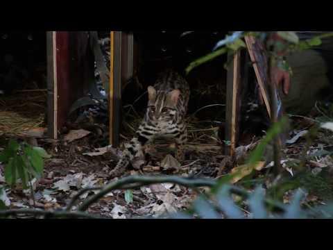 Kaksi laittomasti pyydystettyä villieläintä, aasianmetsäkissa ja sivettieläimiin kuuluva musanki, on vapautettu Pohjois-Laosissa luontoon. Eläimet löydettiin ravintolasta Pohjois-Laosista. Eläimet oli pyydystetty laittomasti, ja niiden molempien kohtalo oli joutua ravintolan ruokalistalle.   Mekongin alueella ja Laosissa villieläinten pyydystäminen ruoaksi on säilyttänyt suosionsa. Laos kiristi suojeltuja lajeja ja salametsästystä koskevaa lainsäädäntöään vuonna 2018 . Työskentelemme yhteistyössä Laosin viranomaisten kanssa salametsästyksen kitkemiseksi. Torjumme Laosissa myös metsäkatoa, jotta villieläinten elinympäristöt säilyisivät myös tulevaisuudessa. WWF Suomi tukee Pohjois-Laosissa metsien ennallistamista ulkoministeriön tuella osana kehitysyhteistyötään.