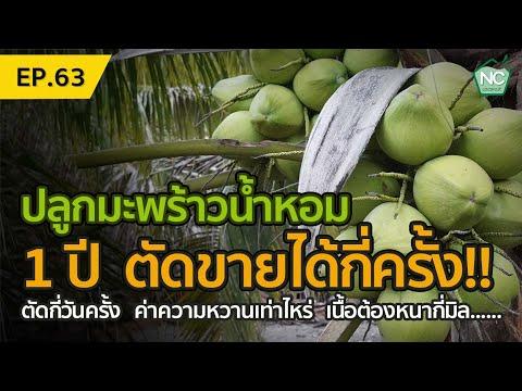 ปลูกมะพร้าวน้ำหอม-1-ปี-ตัดผลผล