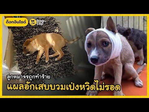 ลูกหมาจรถูกทำร้าย-แผลอักเสบบวม