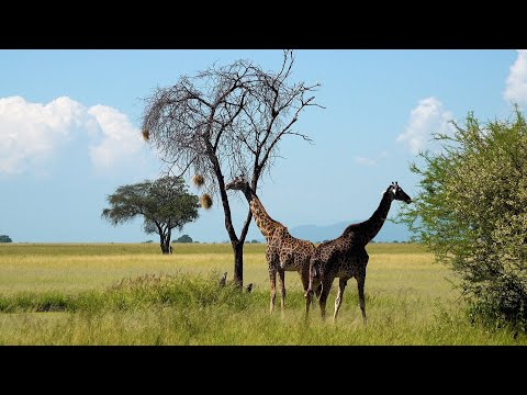 Tarangire National Park, Tanzania in 4K Ultra HD