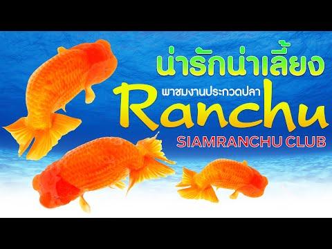 EP.7-งานประกวดปลา-Ranchu-SIAMR
