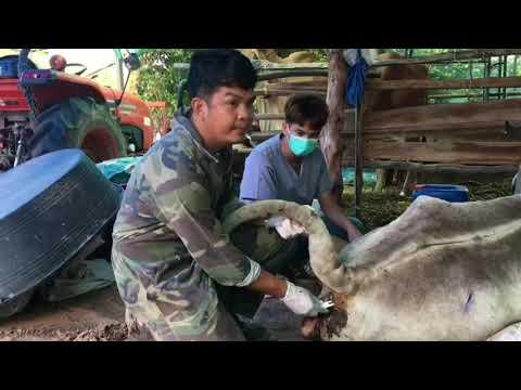 การรักษาโรคลัมปีสกินในวัว-ที่ล