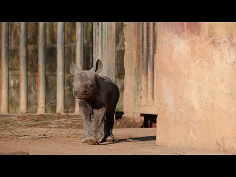 Critically endangered Eastern black rhino calf, Gabe, turns one at Chester Zoo.