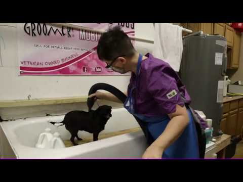 Chihuahua Bath - PET GROOMING LIVE - Share - Love - Subscribe