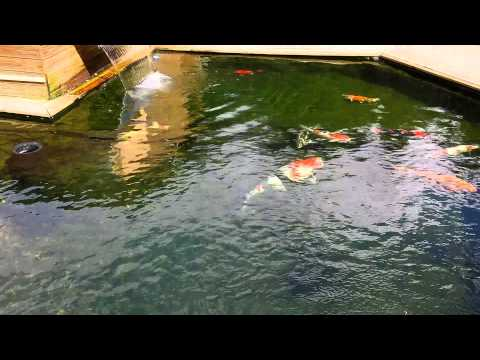Carpes ko et poissons de bassin saison 2015 download for Carpe koi truffaut