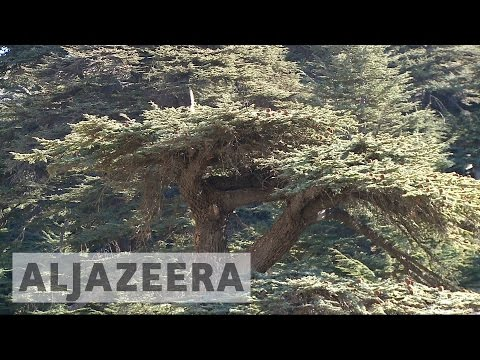 Lebanon launches campaign to save the Cedar tree