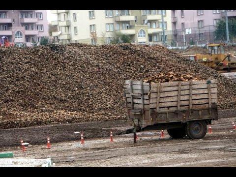 Tokat'ta 800 bin ton şeker pancarı üretimi yapıldı