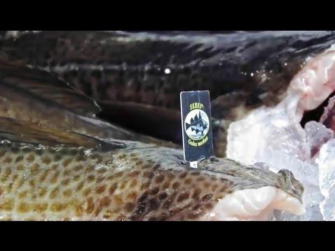 Skrei - L'attente de la pêche hivernale
