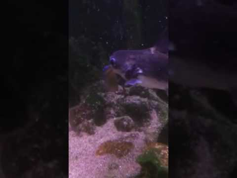 Paroon shark vs Jewel Cichlids GRUESOME