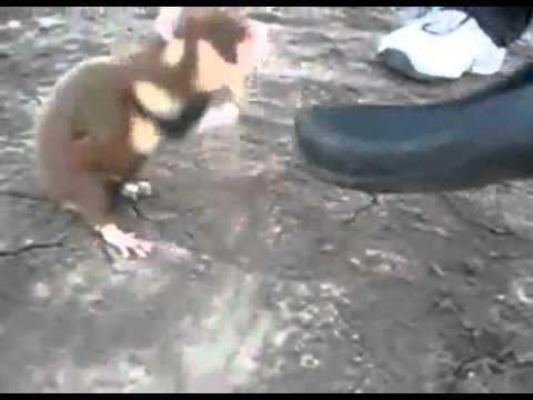 Video: Tiesiog čia Chucko Norriso žiurkėnas. - Ir geriau su Chucko Norriso žiurkėnu nesusidėti.