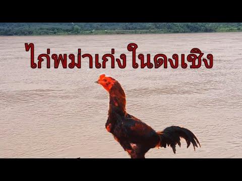 ไก่พม่าไนดงเชิงที่เก่งชนะเร็วม