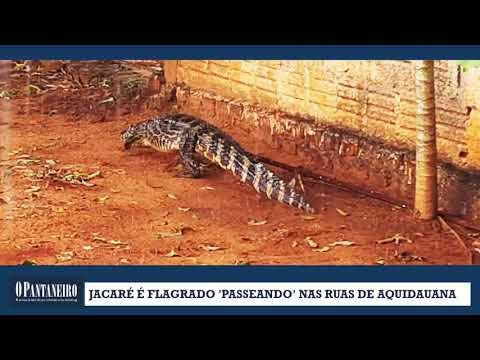 Jacaré é flagrado 'passeando' nas ruas de Aquidauana