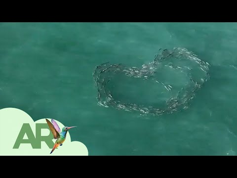 Cardumen de peces forma un corazón