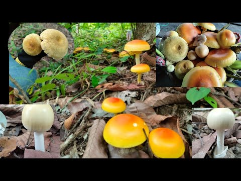 #ลุยป่าหาหน่อไร่แต่เจอเห็ดไคแล