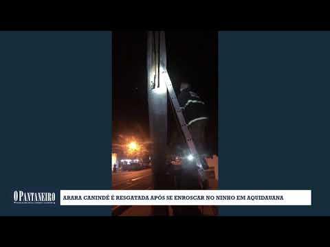 Arara Canindé é resgatada após se enroscar no ninho em Aquidauana